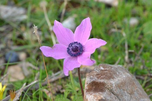 pink anemones browse antalya