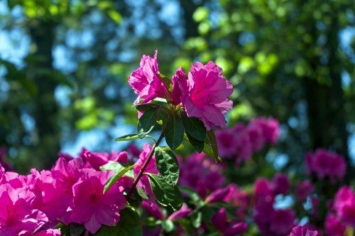 pink arkansas ozark azaleas  blossoms  azalea