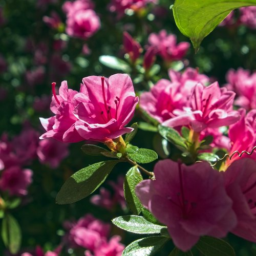 pink azalea  blossoms  azalea