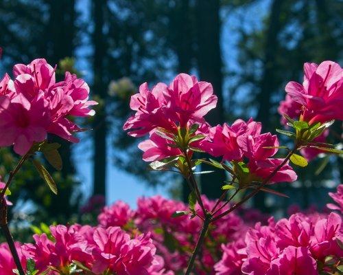 pink azalea in arkansas  blossoms  azalea