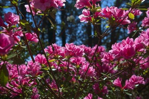 pink azalea in the ozarks  blossoms  azalea