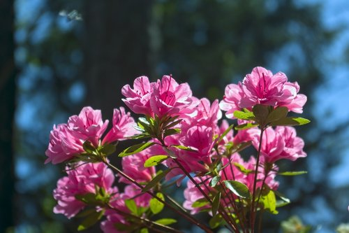 pink azaleas in the ozarks  blossoms  azalea