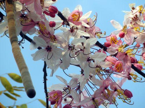 žiedas, rožinis, vyšnia, Japonija, japanese, medis, mėlynas, dangus, graži, pavasaris, sezonas, žydėti, rožinė vyšnios žiedas
