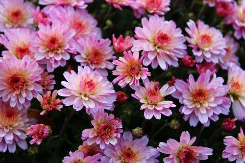 pink chrysanthemums  chrysanthemum  bloom