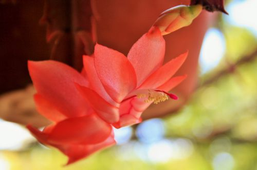 Pink Crab Claw Flower
