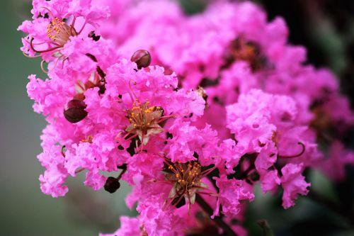 Pink Crepe Myrtle Close-up 2
