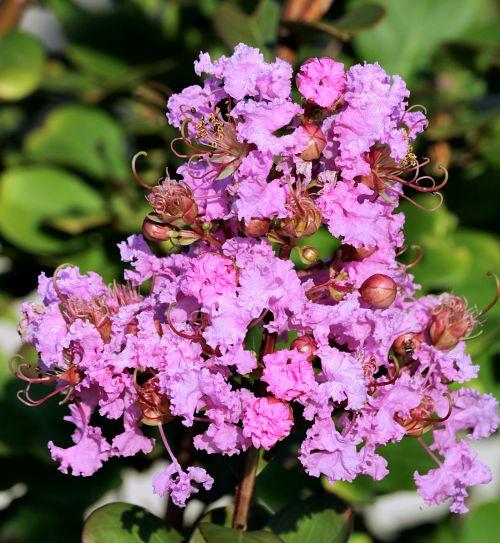 Pink Crepe Myrtle Close-up