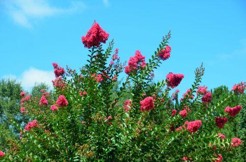 Pink Crepe Myrtle Tree Flowers