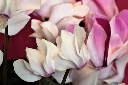 Pink Cyclamen Flowers Close-up