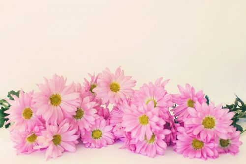 pink daisies daisies copy-space