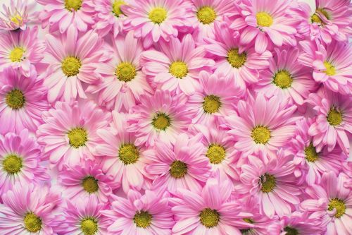 pink daisies flowers background