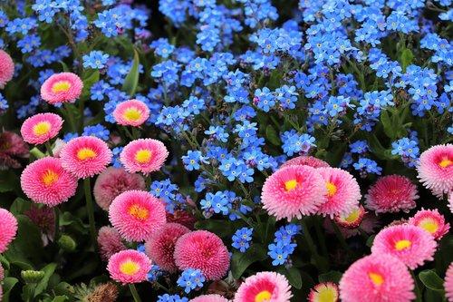 pink daisy  bellis perennis  blue aubrieta