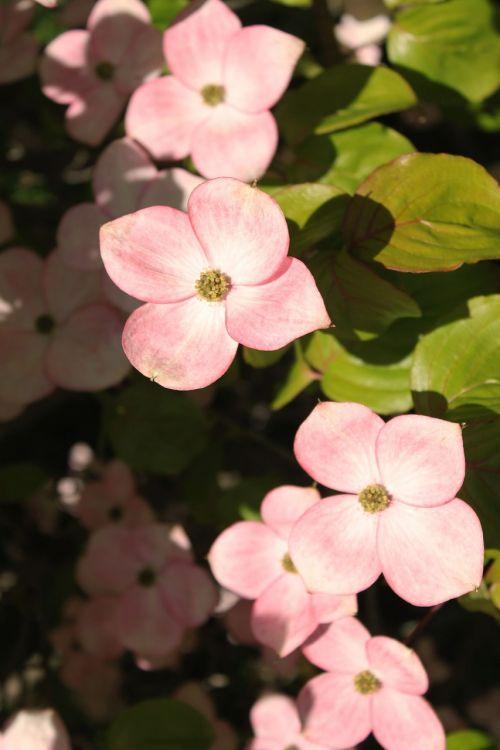 pink dogwood dogwood woody plant