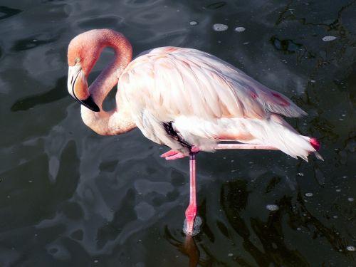 pink flamingo wader bird