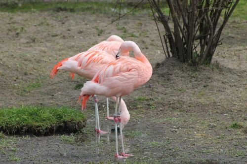 pink flamingo,bird,exotic,fauna,zoo,wild life