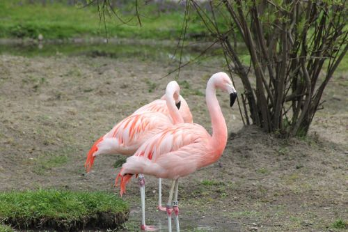 birds,pink flamingo,exotic,fauna,zoo,wild life