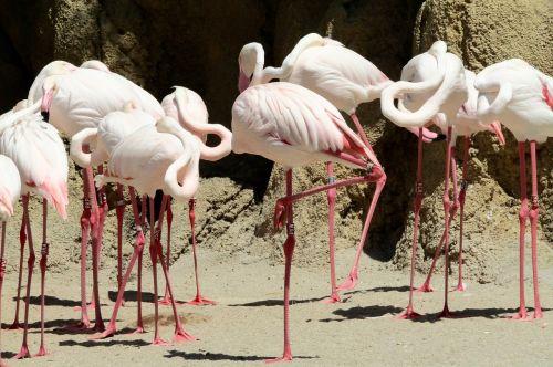 rožinis flamingas,paukštis rožinis,zoologijos sodas,paukščiai,rožinis,gyvūnai,laukiniai,vasara,plunksnos,gamta,bandas