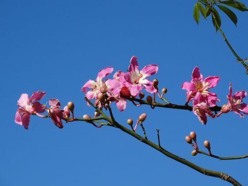 rožinė gėlė,gėlės rožės,gėlių spalvos rausva,spalva rožinė,gėlė,paineira rožinė,pavasaris