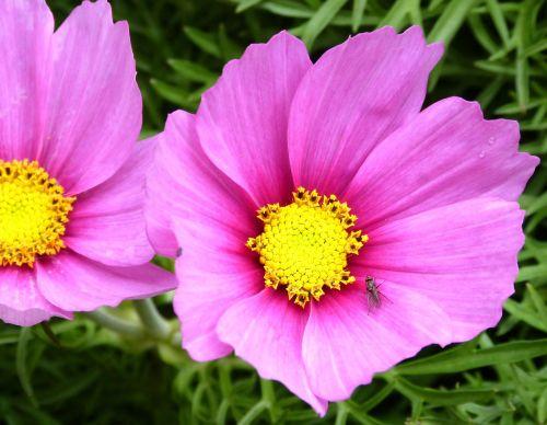 pink flower fly flower