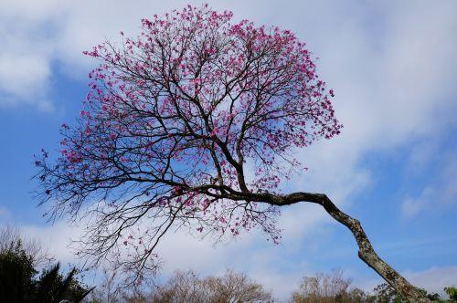 pink flower roses ro