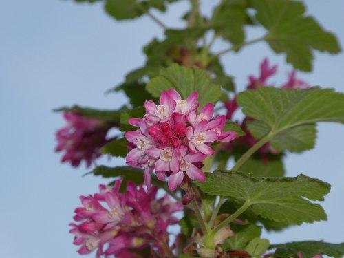 pink flower  bush  ornamental shrub