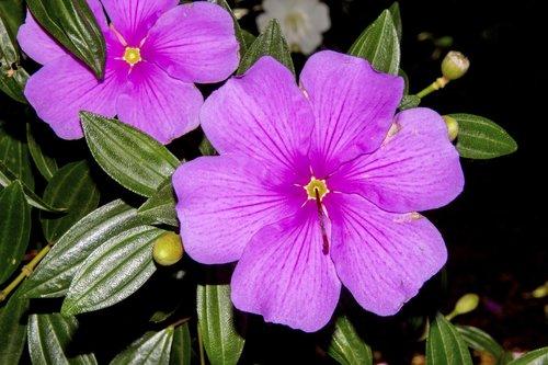 pink flower  azalea  spring