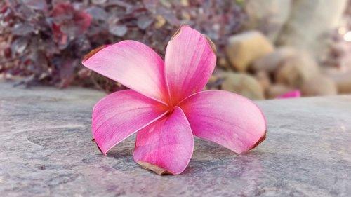 pink flower  beautiful flower  fl