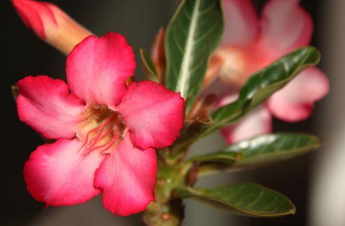 rožinė gėlė,adenium,dykumos gėlė,dykuma pakilo,violetinė,gėlė,laukiniai,rosa,violetinė gėlė,rytas,žiedlapiai,gėlės,raudona