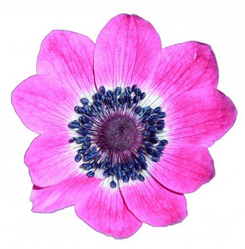 Pink Flower Macro Isolated