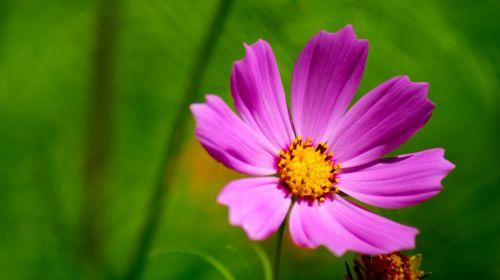 rožinis, gėlė, makro, rožinė gėlių makro