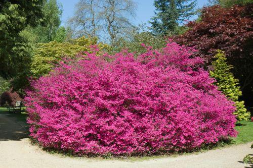 rožinis, krūmas, žydėjimas, gėlės, krūmas, didelis, gamta, graži, rožinis žydintis krūmas