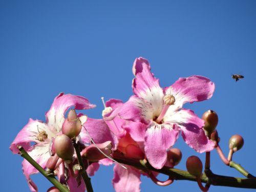 rožinės gėlės,rožinė gėlė,gėlių spalvos rausva,spalva rožinė,gėlė,paineira rožinė,pavasaris