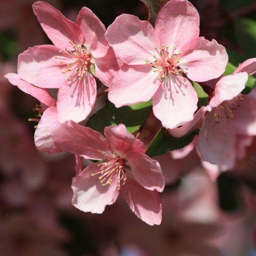 pink flowers spring flowering branch