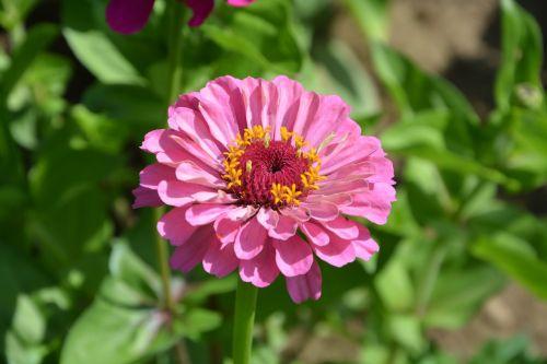 pink flowers garden petal