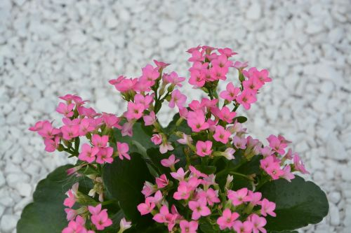 pink flowers green leaves nature