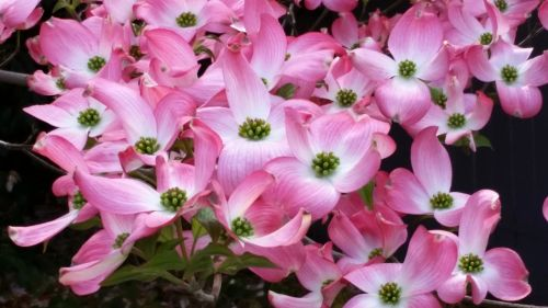 pink flowers dogwood tree springtime