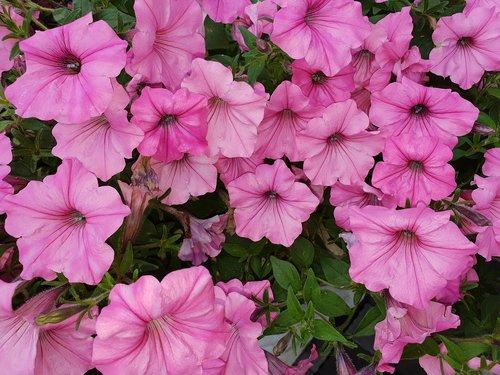 rausvos gėlės vasarą, gėlė, pobūdį, Sodas, augalų, vasara, spalva