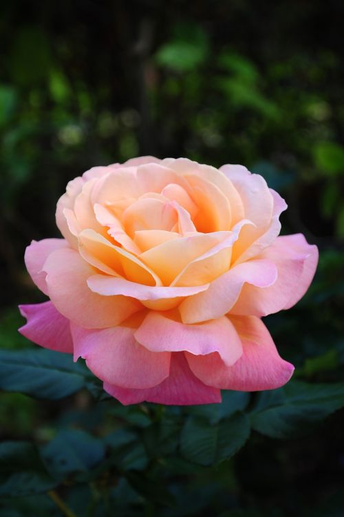 pink gardenia rubiaceae family flower