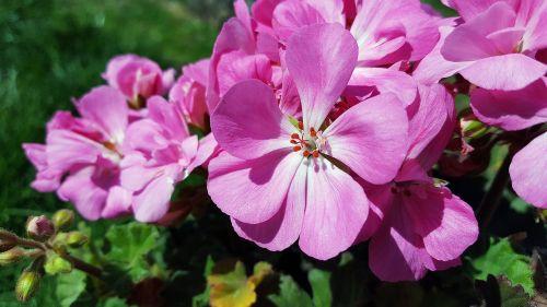 pink geranium geranium flower geranium