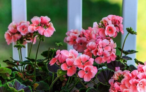 pink geranium soft pink flowers herbaceous annual