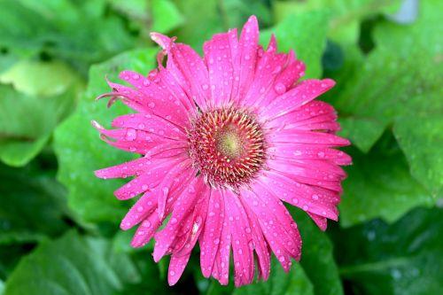 pink gerber daisy daisy pink