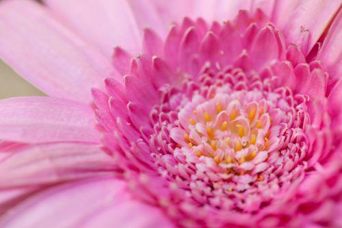 žydėti, žiedas, Daisy, išsamiai, flora, gėlių, gėlė, Gerbera, makro, žiedlapis, augalas, rožinė gerbera