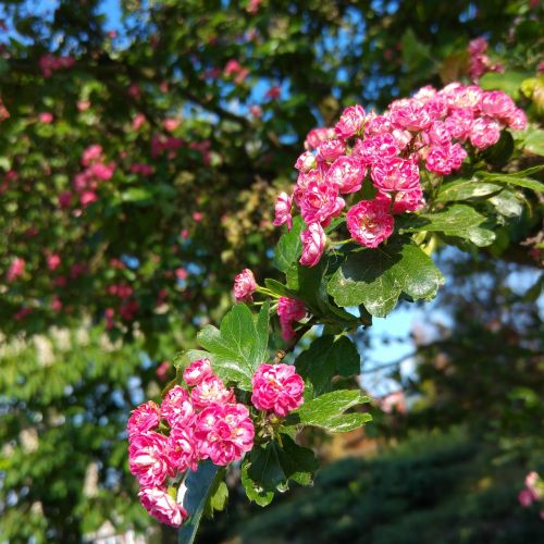 pink hawthorn blooming hawthorn spring