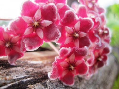 Pink Hoya