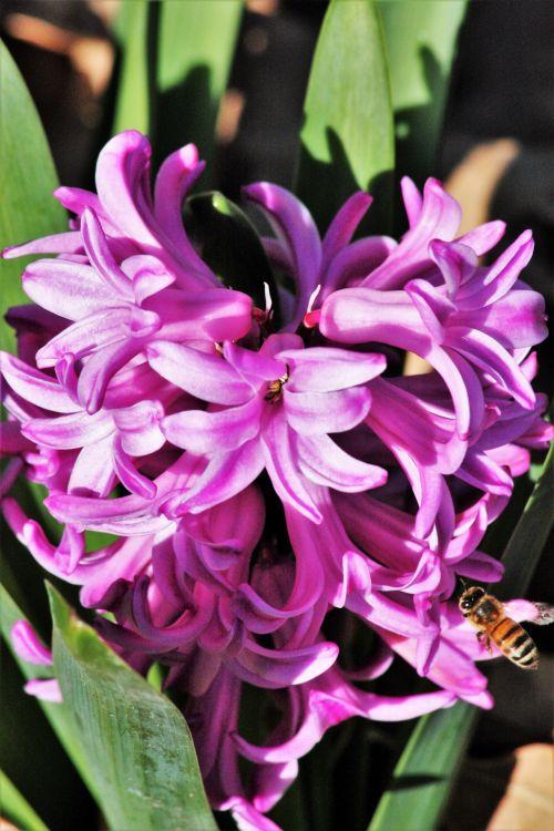 Pink Hyacinth And Bee