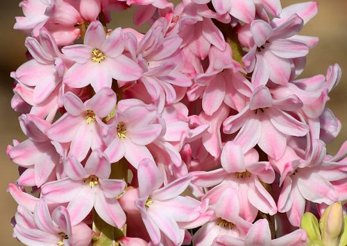 gamta, augalai, gėlės, flora, rožinė & nbsp, gėlės, pavasaris & nbsp, gėlės, rožinis & nbsp, hiacintas, gėlių & nbsp, žiedlapių, rožinės & nbsp, žiedlapių, Iš arti, makro, pilnas & nbsp, rėmas, rožinis hiacintas žiedlapių arti