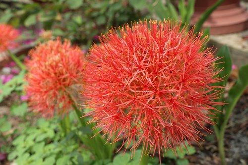 pink hydrangea  red  tree