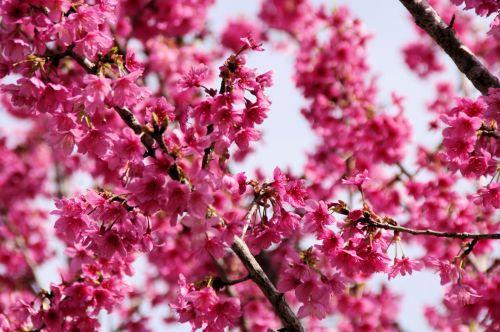 Pink Judas Tree Flower Background