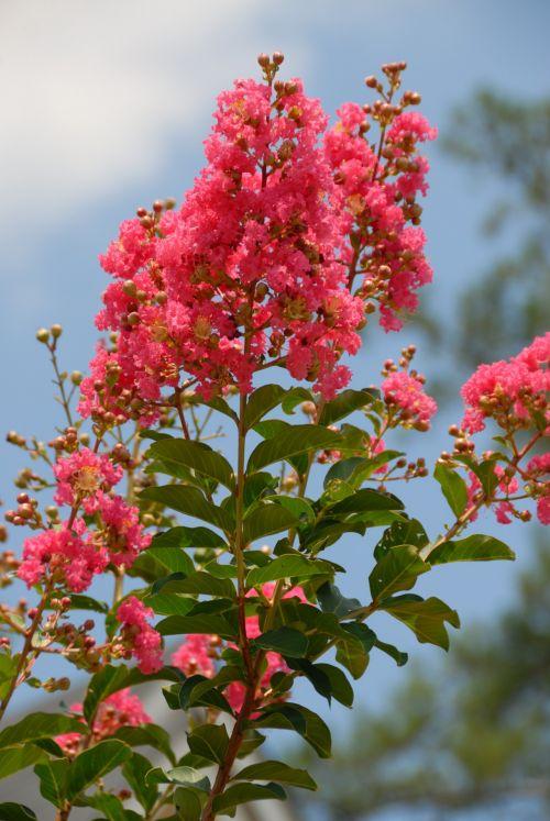 Pink Myrtle Tree