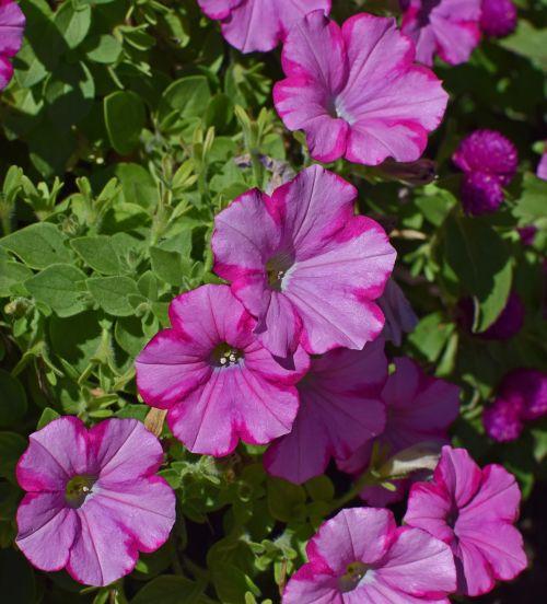pink-on-pink petunia petunia flower